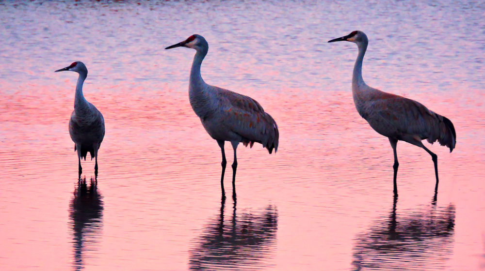 Three sandhill cranes stand in rippling water, the sunset reflecting behind them in pink and purple